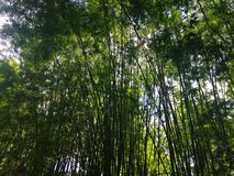 In the green bamboo garden. Stock Images