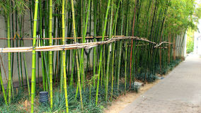 Green bamboo Royalty Free Stock Images