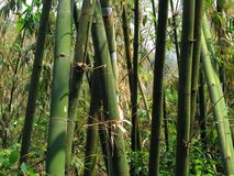 Green Bamboo Grove. In an Asian forest Royalty Free Stock Photography