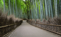 Green bamboo grove at Arashiyama in Kyoto, Japan. Walking path and green bamboo forest at Arashiyama touristy district, Kyoto prefecture in Japan Stock Image