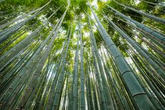 Green Bamboo grove forest with sunlight. Shining Stock Image