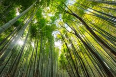 Green Bamboo grove forest with sunlight. Shining Royalty Free Stock Photo