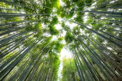 Green Bamboo grove forest with sunlight. Shining Royalty Free Stock Images