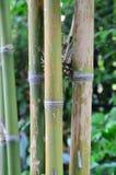 Green Bamboo Grove Stock Image