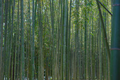 Green bamboo grove in garden Kyoto, Japan  background Stock Photography