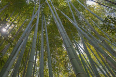 Green bamboo grove in garden Kyoto, Japan  background Royalty Free Stock Images