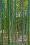 Green bamboo grove in garden Kyoto, Japan  background Stock Image