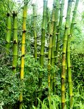 Green bamboo groves Royalty Free Stock Images