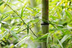 Green bamboo groves Stock Photos