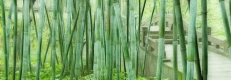 Green bamboo groves Stock Image