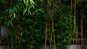 A green bamboo hedge royalty free stock image