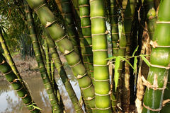 Green bamboo internode Royalty Free Stock Photography