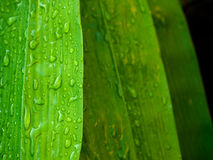 Green bamboo leaf Royalty Free Stock Photos