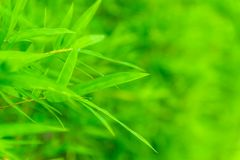 Green bamboo leaf . Stock Images