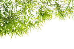 Green Bamboo leaf background Royalty Free Stock Image