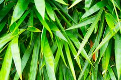 Green bamboo leaf closeup. Background royalty free stock images