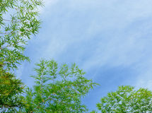 Green bamboo leafs on a blue sky background Royalty Free Stock Images