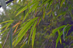 Green Bamboo leafs, bokeh effect. Close up. Stock Images