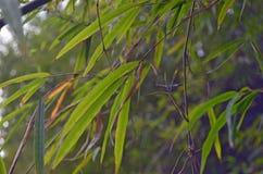 Green Bamboo leafs, bokeh effect. Close up. Green Bamboo leafs with bokeh effect. Close up Stock Images