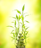 Green bamboo leaves Stock Photography