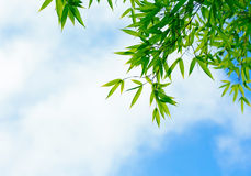 Green bamboo leaves against the sky Royalty Free Stock Photo