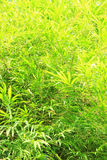 Green Bamboo Leaves Background Stock Photography