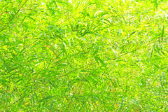 Green bamboo leaves background Royalty Free Stock Photo