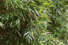 Green bamboo leaves Royalty Free Stock Photography