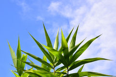 Green bamboo leaves on blue  sky summer background Royalty Free Stock Photography