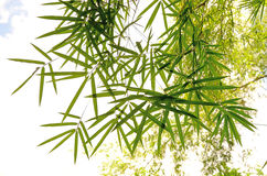 Green bamboo leaves closeup Stock Images