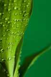 Green bamboo leaves with drops Stock Image