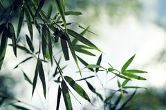 Green bamboo leaves with fog. In morning Stock Photo