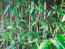 Green bamboo leaves. In front of fence Stock Photography