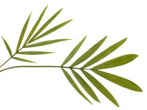 Green Bamboo Leaves Isolated on White. Stock Photos