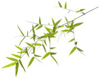 Green bamboo leaves isolated on white Stock Image