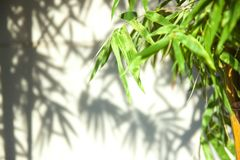 Green bamboo leaves leaving shadows against a soft focus on white wall . royalty free stock photos