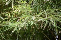Green bamboo leaves in nature garden Stock Photo