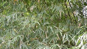Green bamboo leaves. In nature garden stock footage
