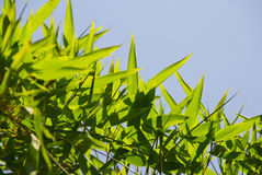Green bamboo leaves. Green bamboo in a nice bamboo garden on blue sky background Stock Photo