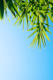 Green Bamboo Leaves Royalty Free Stock Images