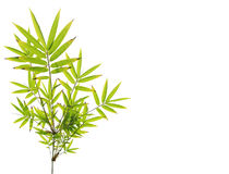 Green bamboo leaves on white Royalty Free Stock Photos