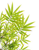 Green bamboo leaves on white Stock Images