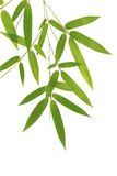 Green bamboo leaves  on white background Stock Images