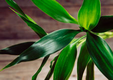Green bamboo leaves Royalty Free Stock Image