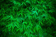 Green bamboo leavs background Royalty Free Stock Images