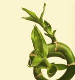 Green bamboo Stock Photos