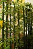 Green bamboo Royalty Free Stock Photos