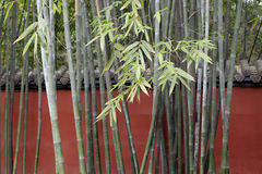 Green bamboo Stock Photography