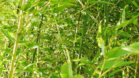 Green bamboo is moving in wind stock footage