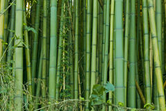 Green bamboo nature backgrounds. Exotic lush green bamboo background Royalty Free Stock Photography